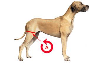 mesure-genouillere-chien-2