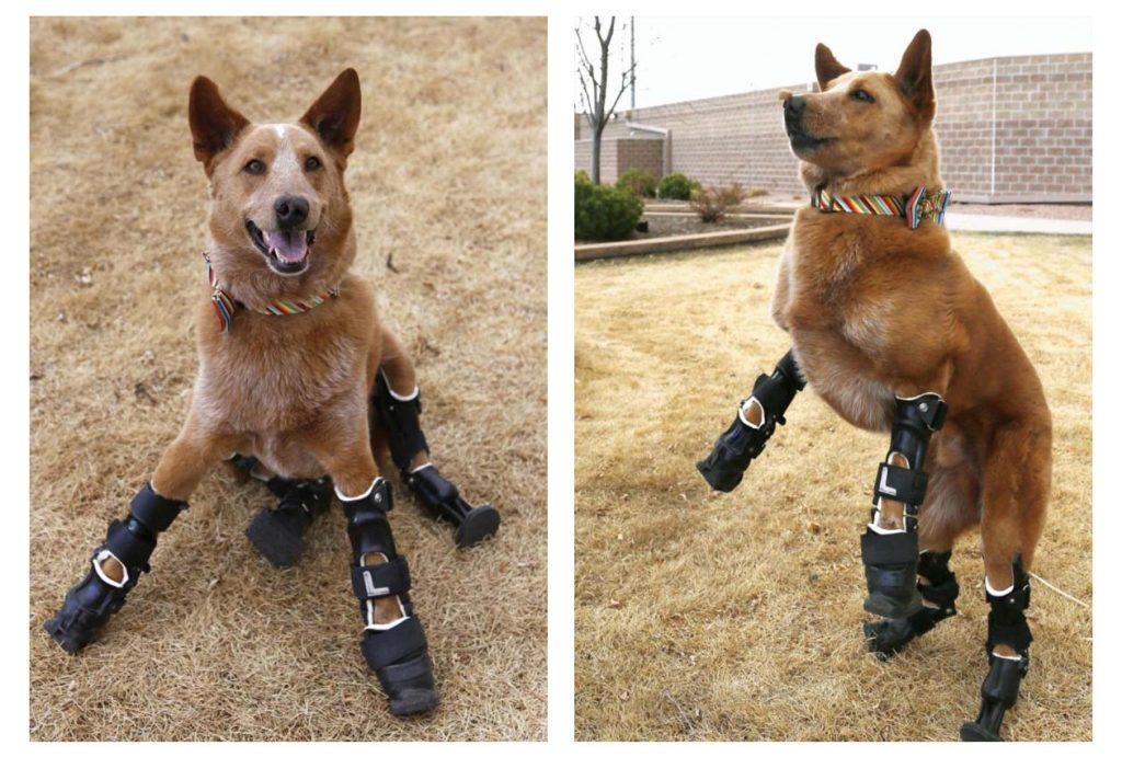prothèses pour chien