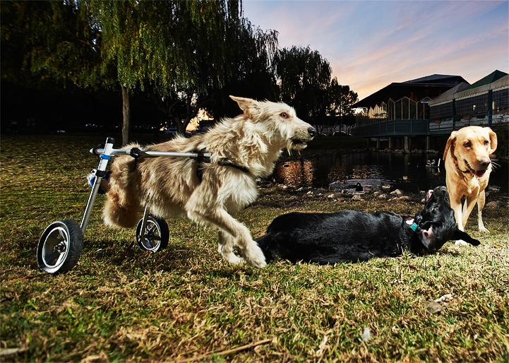 chariot pour chien handicapés balades