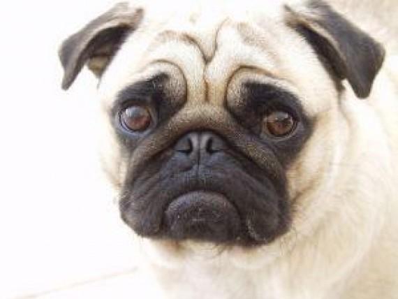 hernie discale chien